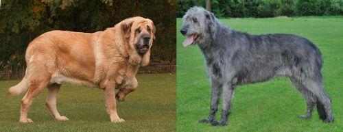Spanish Mastiff vs Irish Wolfhound