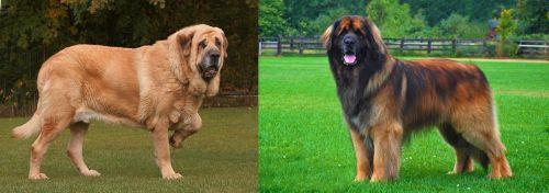 Spanish Mastiff vs Leonberger