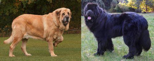 Spanish Mastiff vs Newfoundland Dog