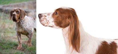 Spanish Pointer vs Irish Red and White Setter
