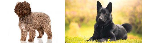 Spanish Water Dog vs Black Norwegian Elkhound