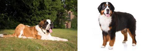 St. Bernard vs Bernese Mountain Dog