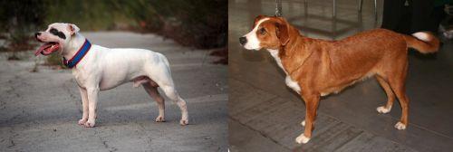 Staffordshire Bull Terrier vs Austrian Pinscher