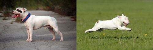 Staffordshire Bull Terrier vs Bull Terrier