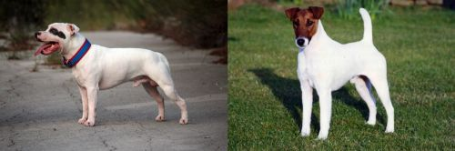 Staffordshire Bull Terrier vs Fox Terrier (Smooth)