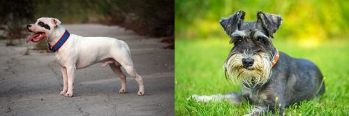 Staffordshire Bull Terrier vs Schnauzer