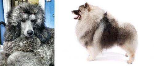 Standard Poodle vs Keeshond