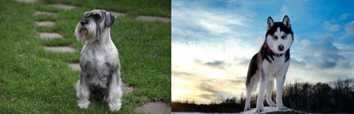 Standard Schnauzer vs Alaskan Husky