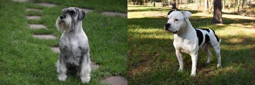 Standard Schnauzer vs American Bulldog