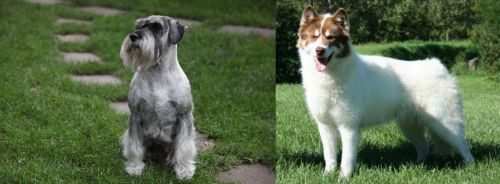 Standard Schnauzer vs Canadian Eskimo Dog