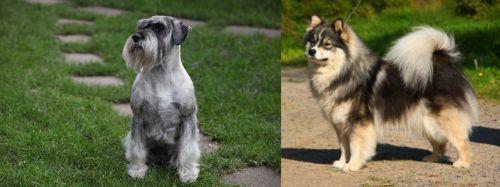 Standard Schnauzer vs Finnish Lapphund