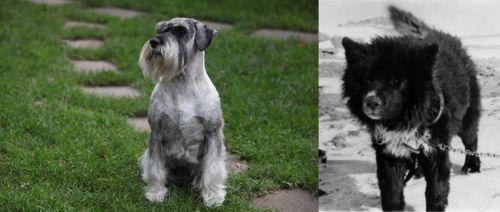 Standard Schnauzer vs Sakhalin Husky
