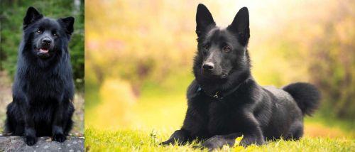 Swedish Lapphund vs Black Norwegian Elkhound