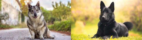 Swedish Vallhund vs Black Norwegian Elkhound