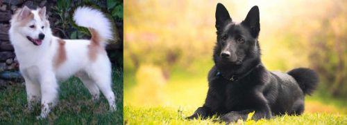 Thai Bangkaew vs Black Norwegian Elkhound