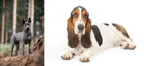 Thai Ridgeback vs Basset Hound