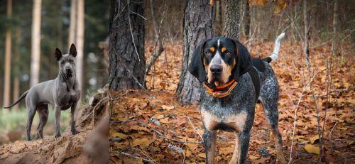 Thai Ridgeback vs Bluetick Coonhound