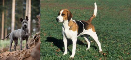 Thai Ridgeback vs English Foxhound