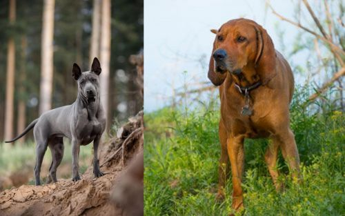 Thai Ridgeback vs Redbone Coonhound