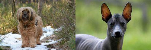 Tibetan Terrier vs Mexican Hairless