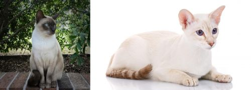 Tonkinese vs Colorpoint Shorthair