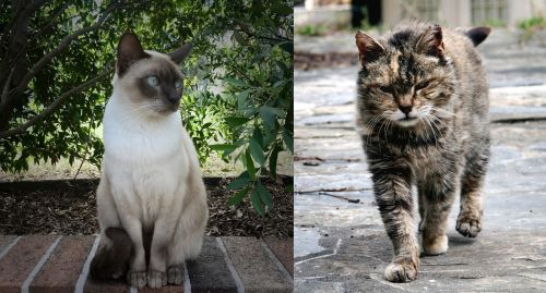 Tonkinese vs Farm Cat