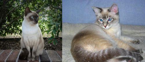 Tonkinese vs Tiger Cat