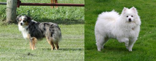 Toy Australian Shepherd vs American Eskimo Dog