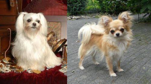 Toy Mi-Ki vs Long Haired Chihuahua