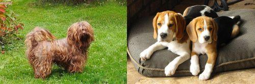 Tsvetnaya Bolonka vs Beagle