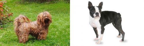 Tsvetnaya Bolonka vs Boston Terrier