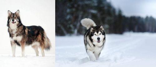 Utonagan vs Siberian Husky