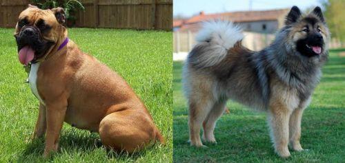Valley Bulldog vs Eurasier