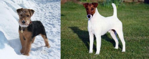 Welsh Terrier vs Fox Terrier (Smooth)