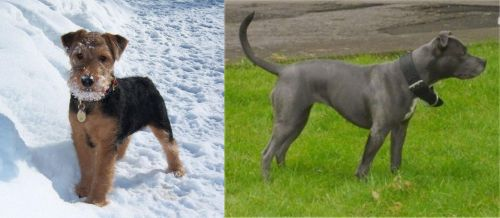 Welsh Terrier vs Irish Bull Terrier