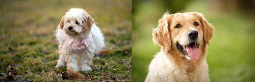 West Highland White Terrier vs Golden Retriever
