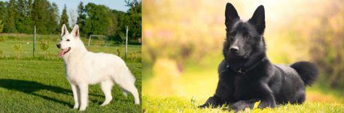White Shepherd vs Black Norwegian Elkhound