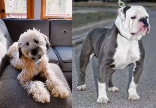 Whoodles vs Old English Bulldog