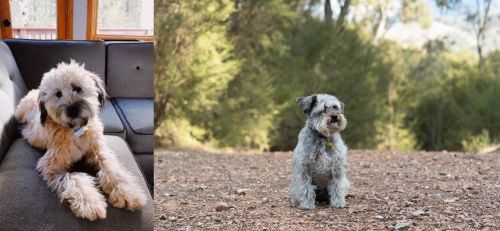Whoodles vs Schnoodle