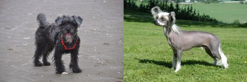YorkiePoo vs Chinese Crested Dog