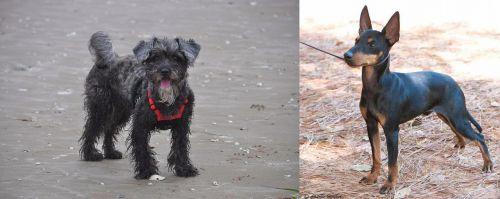YorkiePoo vs English Toy Terrier (Black & Tan)