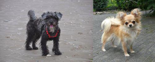 YorkiePoo vs Long Haired Chihuahua
