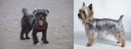 YorkiePoo vs Silky Terrier