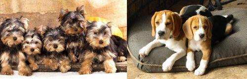 Yorkshire Terrier vs Beagle