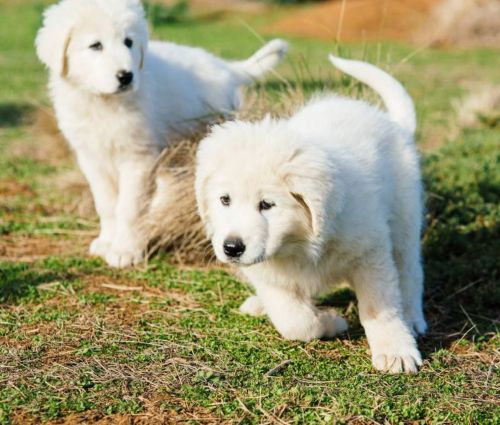 abruzzenhund puppies
