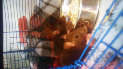 Abyssinian Grass Rat Rodents for sale in Lexington, KY, USA. price 10USD