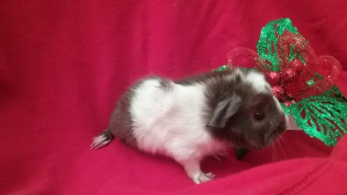 Abyssinian Guinea Pig Rodents for sale in Redlands, CA 92374, USA. price 35USD