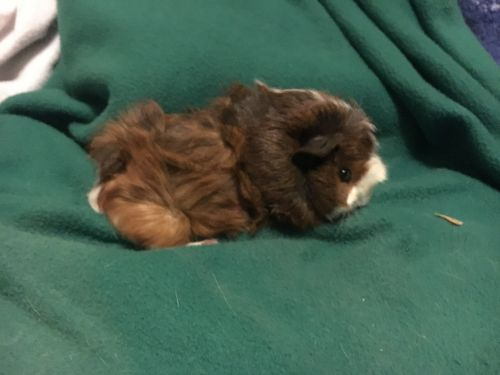 Abyssinian Guinea Pig Rodents for sale in Cleveland Heights, OH, USA. price 20USD