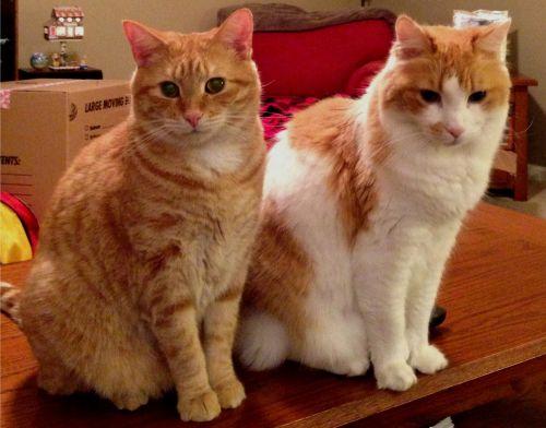 aegean cats