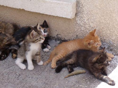 aegean kittens
